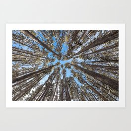 Yellowstone National Park - Lodgepole Forest Art Print
