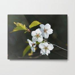 white apple blossom in spring sunlight Metal Print