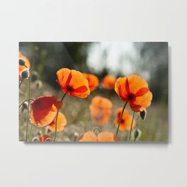 Poppies in full sun   Early morning at the creek The Netherlands   Floral fine art photography   Metal Print