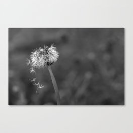 Black and white dandelion flying petals Canvas Print