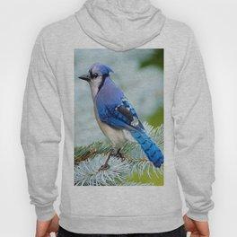 Blue Jay  in Winter Pine Tree Hoody