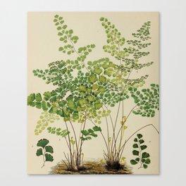 Maidenhair Ferns Canvas Print