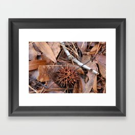 Sweet Gum Tree, Seed Ball Framed Art Print