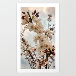 Vintage Cherry Blossoms Art Print