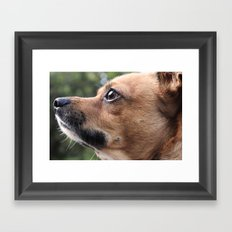 Brown Chihuahua  Framed Art Print
