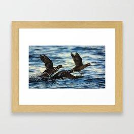 Harlequin Ducks in Flight at Cape Arago, Oregon Framed Art Print