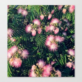 Mimosa Tree Floral Pattern | Photography | Tropical | Pink aesthetic Canvas Print