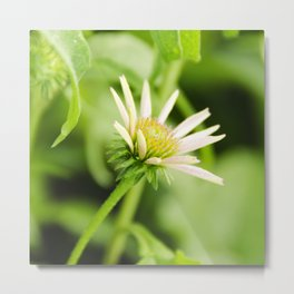 Coneflower in Bloom Metal Print