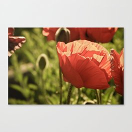 poppies. Canvas Print
