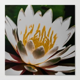 Aquatic royal flower Canvas Print
