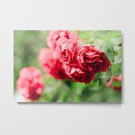 Buds of tea roses hanging in clusters on bushes Metal Print