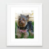 yorkie Framed Art Prints featuring Little Yorkie by IowaShots