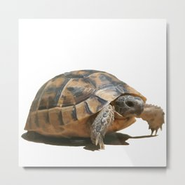 Portrait of a Young Wild Tortoise Isolated Metal Print