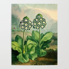 Auriculas : Temple of Flora Poster