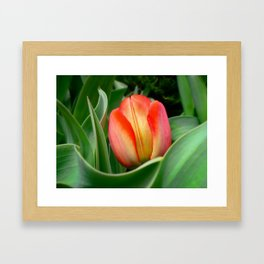 Young Red Tulip with Green Leaves ~ Close Up of Flower Bloom in a Spring Tulip Bed Framed Art Print