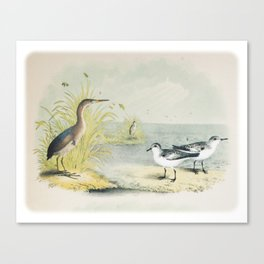 PLATE XL The Least Bittern The Sanderling, or Ruddy Plover Ornithology Birds Vintage Studies America Canvas Print