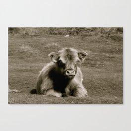 Scottish Highland Calf Canvas Print