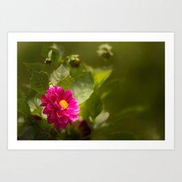 Dark Pink Dahlia in the Garden Art Print