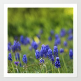 Grape Hyacinth in Spring Art Print