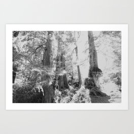 Ancient Cedars, BC Art Print