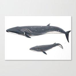 Sei whale (Balaenoptera borealis) Canvas Print