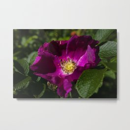 Rosa rugosa Metal Print