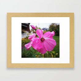 Lavatera flower with water drops in the morning Framed Art Print