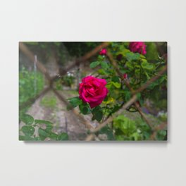 Rose and wire Metal Print