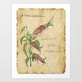 Planimarium - astacoidea justicia brandegeeana Art Print