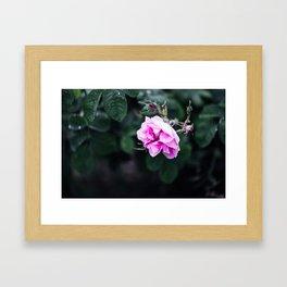 Centifolia I  Framed Art Print