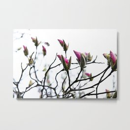 Pink Magnolia Buds on White Metal Print