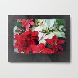 Mixed color Poinsettias 1 Blank P4F0 Metal Print