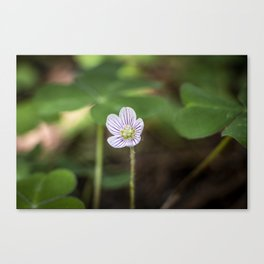 Wood Sorrel Flower Canvas Print