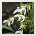 First signs of spring (snowdrops) by walstraasart