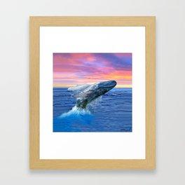 Breaching Humpback Whale at Sunset Framed Art Print