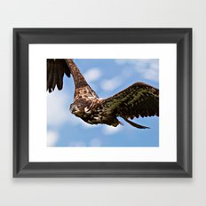 Flying Immature Bald Eagle Framed Art Print