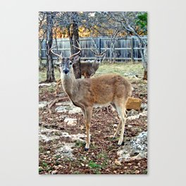 Texas Whitetail Buck Winks Canvas Print