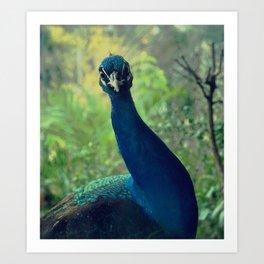 Roman Peacock Art Print