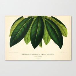 Vintage Botanical illustration, 1854 (Rodondendrum) Canvas Print
