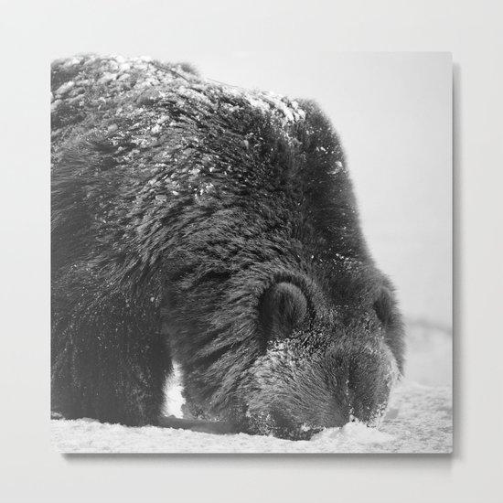 Alaskan Grizzly Bear in Snow, B & W - 2 Metal Print