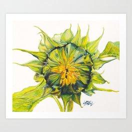 opening sunflower Art Print