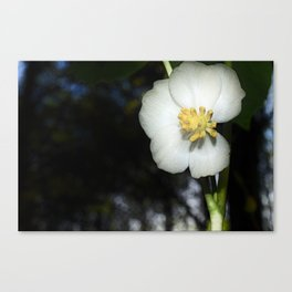 May Apple Canvas Print