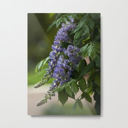Purple Wisteria Metal Print