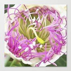 Caper Flower Blossom Canvas Print