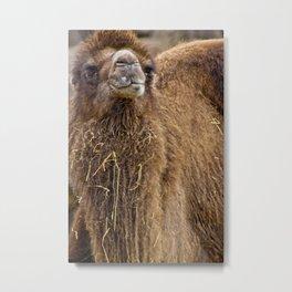 Bactrian Camel Metal Print