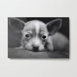 Tiny Chihuahua Metal Print