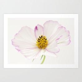 Sensation Cosmos White Bloom Art Print