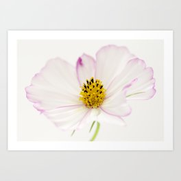 Sensation Cosmos White Bloom Art Print