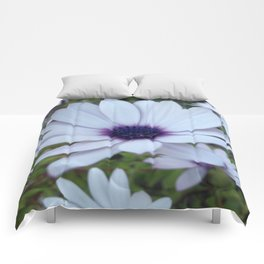 White Osteospermum Flower Daisy With Purple Hue Comforters