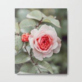 Pink rose in bloom Metal Print